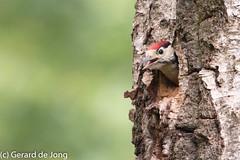 Grote bonte specht (igerarddejong) Tags: bird greatspottedwoodpecker deslenk grotebontespecht dendrocoposmajor vogel