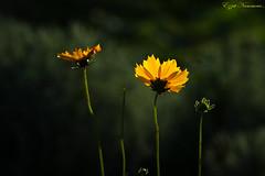 Coréopsis à oreilles coreopsis auriculata   (1) (Ezzo33) Tags: france gironde nouvelleaquitaine bordeaux ezzo33 nammour ezzat sony rx10m3 parc jardin fleur fleurs flower flowers jaune yellow coréopsis à oreilles coreopsis auriculata