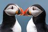 A quiet and largely deserted place (pstani) Tags: alcidae europe fraterculaarctica greatbritain mainland scotland shetland sumburgh sumburghhead auk bird fauna puffin