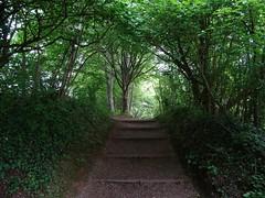 Rising into the light (Phil Gayton) Tags: path trail tree ivy foliage step riverside walk brutus bridge totnes devon uk greenery green