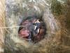 20180514 Carolina Chickadee (plumheadedfinch) Tags: birds passeriformes paridae poecile poecilecarolinensis carolinachickadee nests pennsylvania month05may 2018