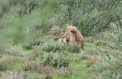 Lion. (annick vanderschelden) Tags: lionesses lion lioness cat mammal wildlife animal nature savannah bush grassland southernafricanlionesses etoshanationalpark grass trees africa southernafrica male sky namibia