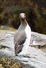 3G4A8958 (Bill16STN) Tags: northumberland farneislands seahouses bamburgh bamburghcastle shag guillemot puffin seal