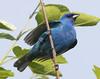 Beautiful Indigo Bunting (MTEBG99) Tags: indigobunting bunting birds bird indigo