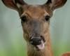TermsOfEndearment (jmishefske) Tags: 2018 nikon nature d500 center whitnall milwaukee franklin head june wisconsin wehr park wildlife whitetail deer doe