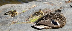 Mom and babies (joybidge) Tags: trishcanada naturepatternscanada duck ducks victoriabc babies ducklings