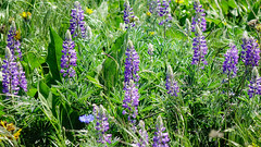Rowena Crest lupine (Mike_100) Tags: lupine flowers wildflowers oregon columbiarivergorge pacificnorthwest rowena rowenacrest green