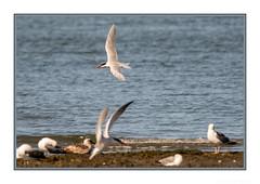 Hey, *ask* me before you decide to land! (JohnKuriyan) Tags: alameda elsie roemer bird sanctuary caspian tern