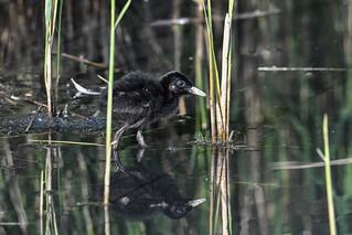 Waterrail chick 2018-06-09_01