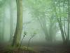 … (Damian_Ward) Tags: ©damianward damianward beech trees chilterns chilternhills thechilterns fog mist buckinghamshire wood forest woodland