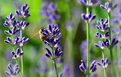Eye on the Prize (Karen McQuilkin) Tags: bee lavender garden summer