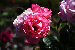 DSC_0265 (PeaTJay) Tags: nikond750 reading lowerearley berkshire macro micro closeups gardens outdoors nature flora fauna plants flowers rose roses rosebuds