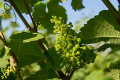 Young grapes (Marilely) Tags: young grapes sommer weinberg summer vineyard junge weintrauben landscape nature