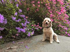 (Jean Arf) Tags: highlandpark rochester spring 2018 azalea blossom flower bush tree steps stairs dusty dog poodle miniaturepoodle