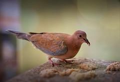 mealtime.. (salihseviner) Tags: mealtime dove birds