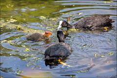 heenvliet (heavenuphere) Tags: heenvliet nissewaard zuidholland southholland nederland netherlands europe eurasiancoot eurasian coot fulicaatra commoncoot bird baby young juvenile animal water 24105mm