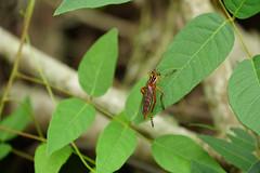 DSC00839.jpg (joe.spandrusyszyn) Tags: lakeapopka oaklandnaturepreserve byjoespandrusyszyn unitedstatesofamerica orlando florida robberfly asilidae arthropod diogmites animal nature insect fly diptera