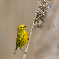 One more Yellow Warbler (RKop) Tags: d500 nikkor600f4evr 14xtciii raphaelkopanphotography ottawanwr ohio warblers warbler wildlife