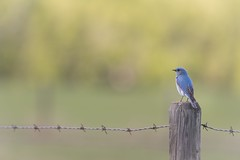 Revival (Tracey Rennie) Tags: southofcalgary barbedwire mountainbluebird fence spring bluebird