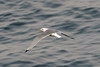 Black-legged Kittiwake - 3CY - May - UK (Keith V Pritchard) Tags: 2ndsummer 3cy 3rdcalendaryear 3rdcycle blackleggedkittiwake dorset kittiwake portlandbill rissatridactyla uk gull seagull