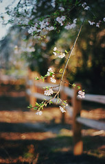 still time for spring, part three (manyfires) Tags: film analog flowers floral floralscape spring blossom bloom oregon pacificnorthwest pnw 35mm nikonf100 bokeh westmorelandpark westmoreland cherrytrees cherrytree weepingcherrytree fence branch tree pdx portland