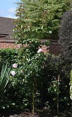 DSC_0096 (PeaTJay) Tags: nikond750 sigma reading lowerearley berkshire macro micro closeups gardens outdoors nature flora fauna plants flowers rose roses rosebuds trees bushes