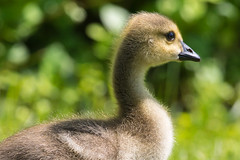 Goslings 5-25-2018-1 (Scott Alan McClurg) Tags: anserinae anserini bcanadensis branta aggression aggressive animal baby bird canada canadageese canadagoose geese goose gosling life nature naturephotography neighborhood pond portrait spring suburbs swim swimming urban water wild wildlife