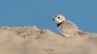 Piping Plover | 2018 - 16