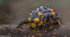 7-Spot Ladybird Larvae (Danny Gibson) Tags: ladybird larvae ladybirdlarvae insect insects insectmacrophotography insectphotography macro macrophotography macroinsectphotography dgpixorguk olympuse5 sigma105mm