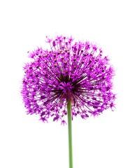One single flower (mrsparr) Tags: flickrfriday single flower backlight backlit macro compositionallychallenged contrejour