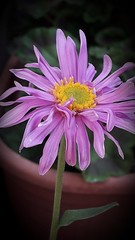 Alpine - Aster Happy End (merseymouse) Tags: alpines aster flowers plants pink nature explored inexplore asterhappyend
