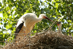 feeding the baby (photos4dreams) Tags: gersprenz münster hessen germany naturschutz nabu naturschutzgebiet photos4dreams p4d photos4dreamz nature river bach flus susannahvictoriavergau susannahvvergau eventphotos4dreams bird birds storch stork adebar nest nestbau canoneos5dmark3 störche frosch frösche hase vogel vögel dragonfly damselfly libelle natur