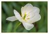 white Tulip (gilbertdorleansphotography) Tags: montréal canon canonlens photo photographe photographie photography photos macro fleur tulipe jardin jardins blanche nature pétale