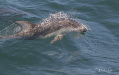 _DII6033  EXPLORE (Ashala Tylor Images) Tags: monterey montereybaywhalewatch dolphin pacific whitesided