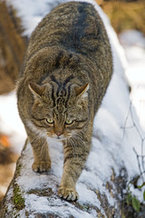 Wildcat walking on the log (Tambako the Jaguar) Tags: wildcat wild cat feline male portrait walking log tree coming snow winter cold tierparklangenberg wildpark zürich switzerland nikon d5