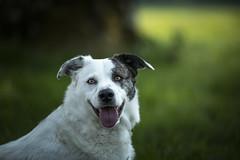 Beautiful Buddy Explored 31-5-18 (Dogstar_photography) Tags: buddy rescue dog caringfortheanimalstrust canon eos 5d mark iv ef135mm f2l usm