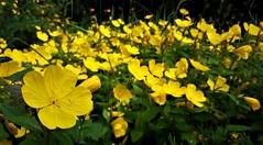 Napsárga virágtenger (Ják) (milankalman) Tags: yellow flower garden summer nature plant