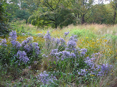 Symphyotrichum laeve var. laeve 'Bluebird' (Bluebird smooth aster) (mtcubacenter) Tags: native plants delaware public gardens botanical plantlife nativeplants midatlantic ecologicalgardening