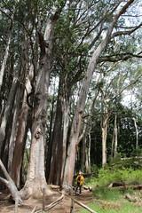 Eucalyptus obliqua stand (J. B. Friday) Tags: eucalyptus myrtaceae eucalyptusobliqua