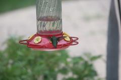Hummingbird at my Feeder (Saline, Michigan) - June 2018 (cseeman) Tags: hummingbirds birds saline michigan hummingbirdfeeder feeder hummingbird06092018