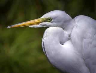 Great Egret - Chincoteague Island, Virginia