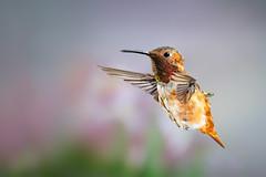 Floating in Air! (Patricia Ware) Tags: 500mmf4lisusm allenshummingbird backyard birdsinflight california canon manhattanbeach multipleflash selasphorussasin tripod ©2018patriciawareallrightsreserved specanimal