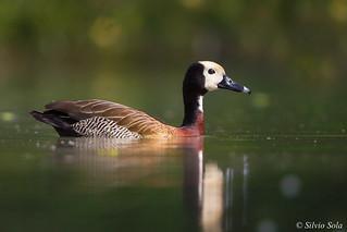 Dendrocigna faccia bianca - Dendrocygna viduata - Bellied Whistling Duck White-Faced.