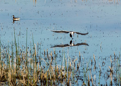 Eating on the fly (poormommy) Tags: bird tern commontern marsh reed reeds water franklake alberta reflection shorebird friendlychallenges