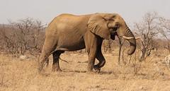 Picking up twigs, strolling along in the dry bushveld (elephant / olifant) (Pixi2011) Tags: elephants wildlife big5 krugernationalpark africa animals nature