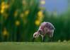 'A Norfolk Spring' (Jonathan Casey) Tags: gosling canada goose norfolk whitlingham nikon d850 400mm f28 vr