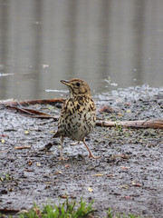 I've Got Thrush (Steve Taylor (Photography)) Tags: thrush mud damp wet speckled chest bird brown green puddle newzealand nz southisland canterbury christchurch hagleypark grass reflection spring
