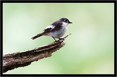 PIED FLYCATCHER { female } (PHOTOGRAPHY STARTS WITH P.H.) Tags: pied flycatcher yarner woods devon nikon 500mm teleconverter d500
