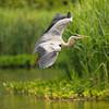 Heron in flight (Susanne Leyh) Tags: heron greyheron reiher fischreiher bird wildlife vogel nature flight flying animal outside outdoors natur