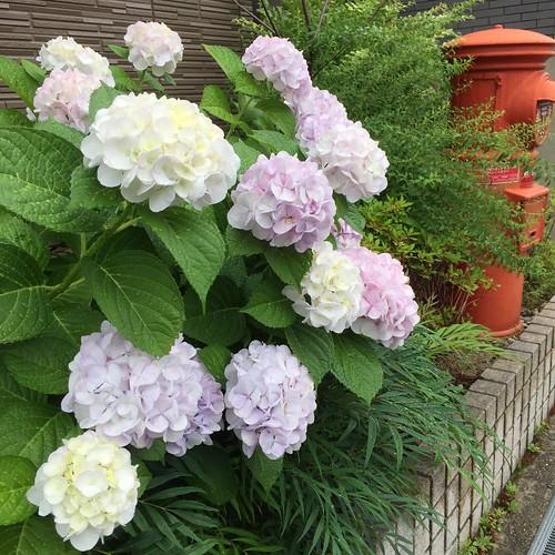 紫陽花が似合う